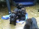 8 puppy's te koop