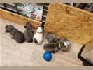 Prachtige Blauwe Franse Bulldog pups