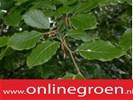 Haagplanten kopen met korting. A Kwaliteit