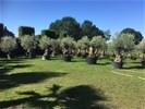 Hele mooie olijfbomen met oude stam