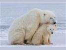 IJsberen spotten in Churchill, 6 dagen
