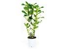 Dendrobium Nobile Apollon 3T