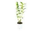 Dendrobium Nobile Apollon 2T