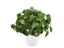 Pannenkoekenplant XL in ELHO sierpot (wit)