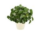 Pannenkoekenplant XL in ELHO sierpot (soap)