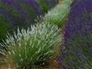 Nieuwe aanvoer witte en blauwe lavendel blauw, winterhard!!