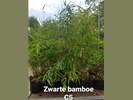 Bamboe ''niet woekerend'' rood, paars, zwart.