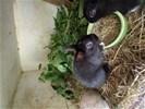 Jonge dwergkonijnen erg tam en mooi