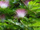 Calliandra surinamensis, ''roze poederkwast''