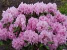 Rhododendron in allerlei kleuren.