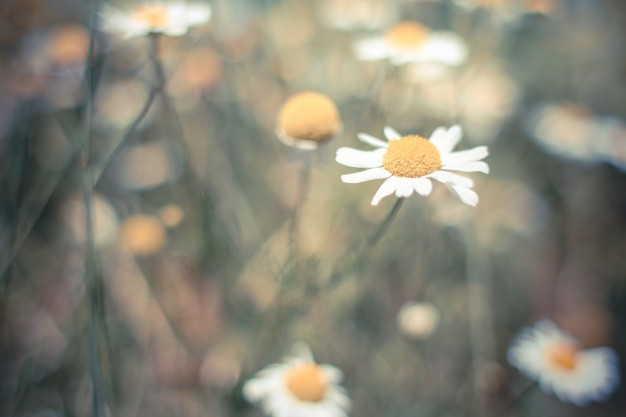 lonely-daisy-in-the-field_385-19321370