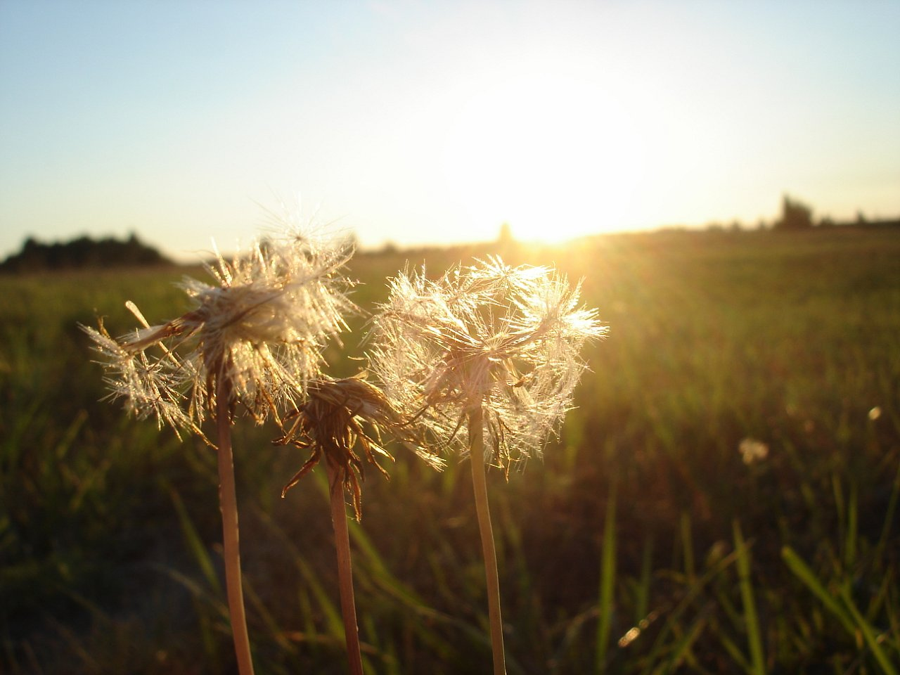 stockvault-sun-and-dandelions127505