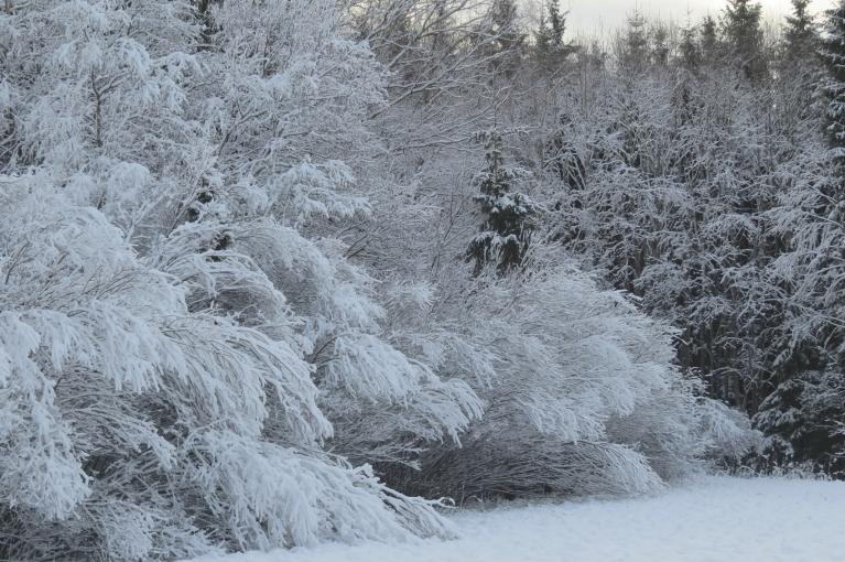 Krūmi līgst no sniega smaguma.