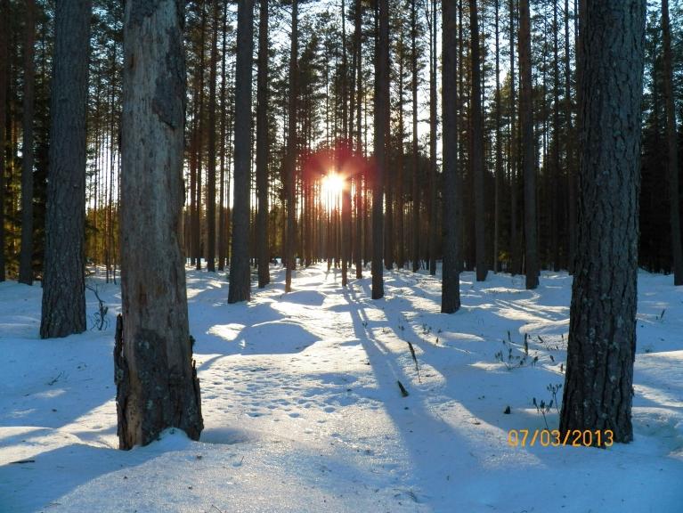 Sērsna Žīguru apkārtnes mežā.
