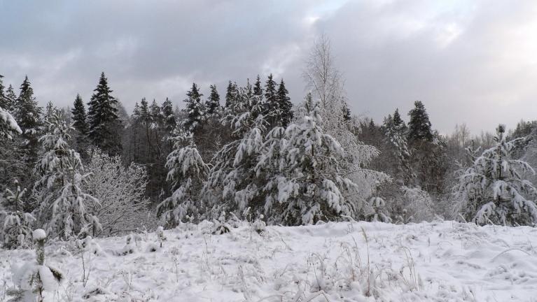 Priedes vecajā Ūlasu karjerā kā īsti pamatīgā ziemā.