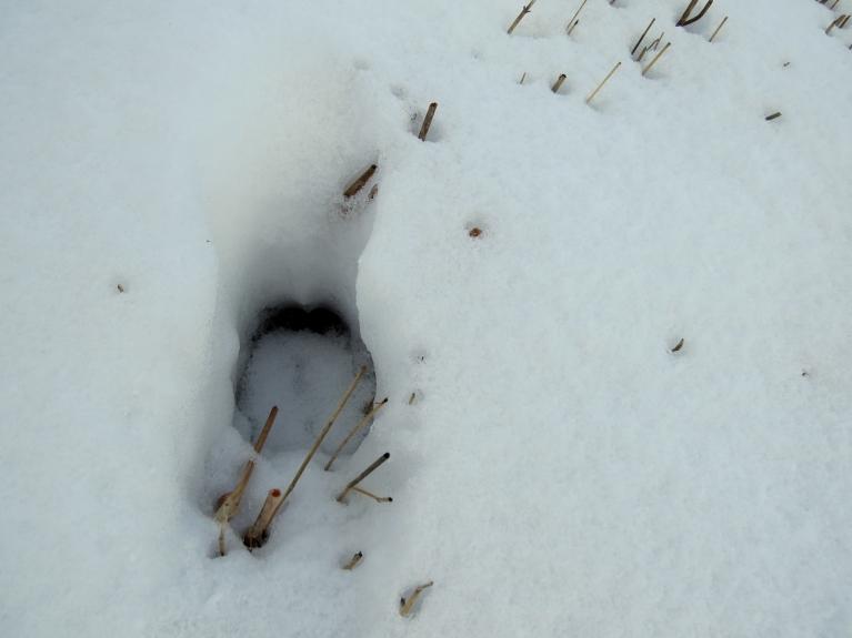"""26. februārī sniega segas biezums sarucis līdz 10 cm, dienā sērsna pakūst, alņi ejot  """"krīt"""" sērsanai cauri."""