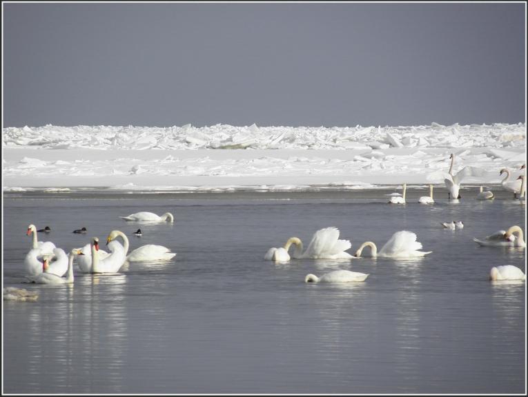Aprilis. Ledus kravumi un gulbji Mērsragā.