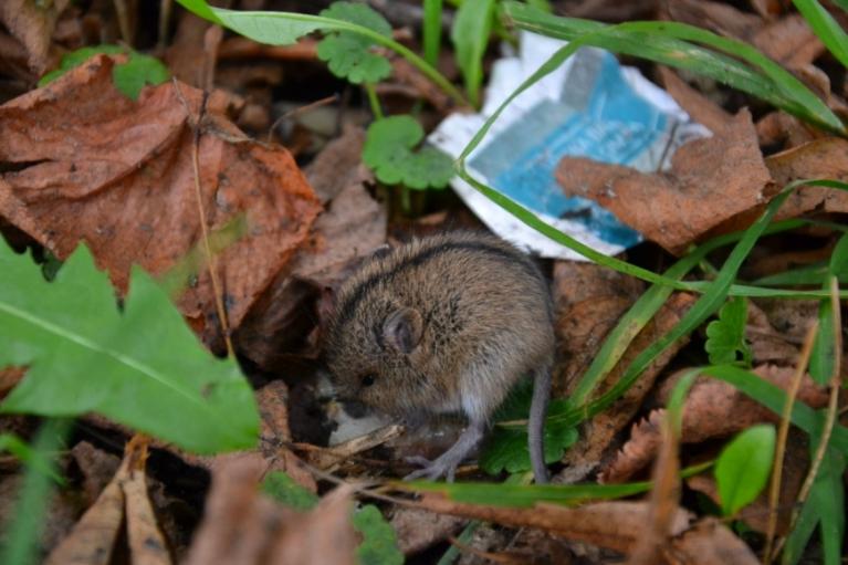 Kāda pele starp lietiem mēģina atrast ko ēdamu atkritumos...