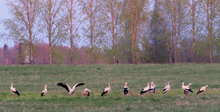 Jau kuro dienu apkārt klejo paliels stārķu bars (ap 15 putnu), jādomā, ka tie ir jaunie, kas par bērnu audzināšanu vēl nedomā.