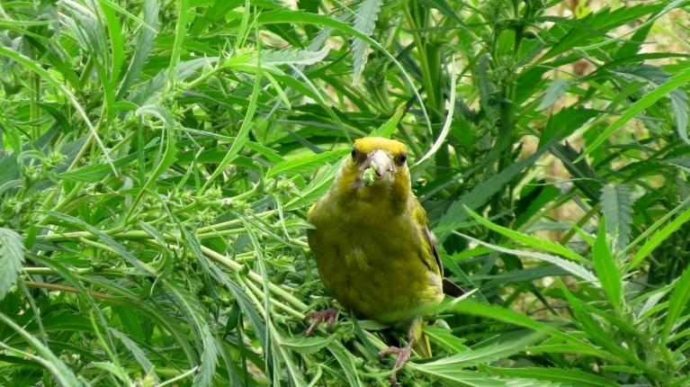 """Līdz pusdienas laikam nekas neliecināja par krasām izmaiņām, ap vieniem +27, nelieli dūmakaini mākonīši, un manā """"brīvdabas barotavā""""- dzeltenīgs putniņš."""