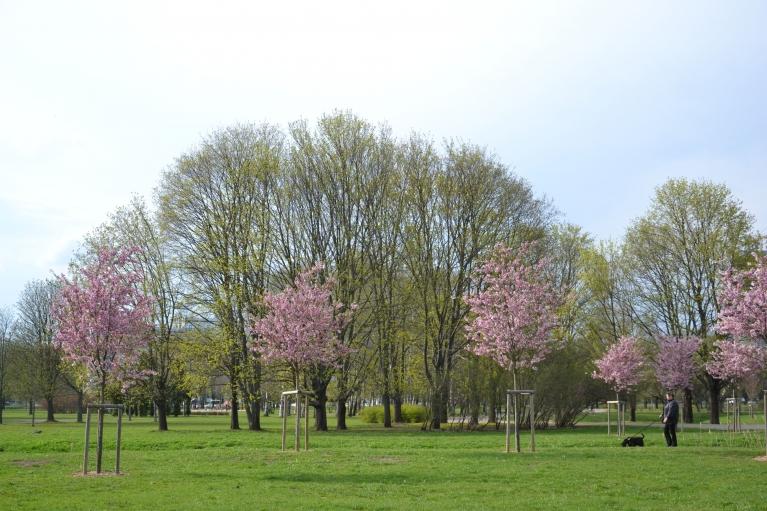Toties Uzvaras parkā jau dažas dienas zied sakuras...