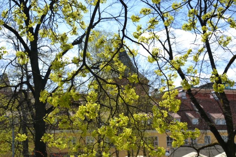 30. aprīlis. Rīgā masveidā zied kļavas.