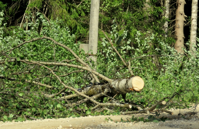 Pāris vietās pāri ceļam krituši koki, kas jau nozāģēti.
