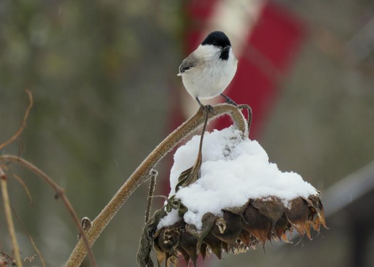 12. novembris- ar sniegu un salu, tas nemaz nav tik bieži, ka Lāčplēšu dienas pasākumi norit sniegotā gaisotnē.