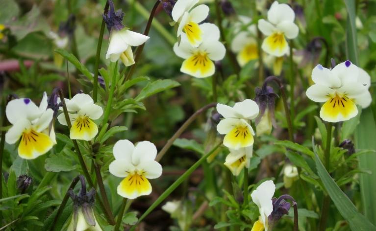 Trejkrāsu vijolītes - norāda uz palielināto skābes daudzumu augsnē.