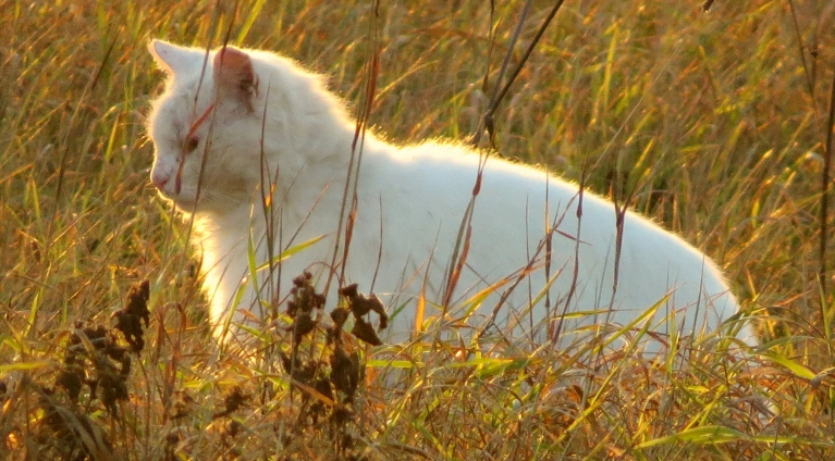 Pat medībās izgājušais kaķis šķiet kā ar zelta putekļiem apbirdināts.