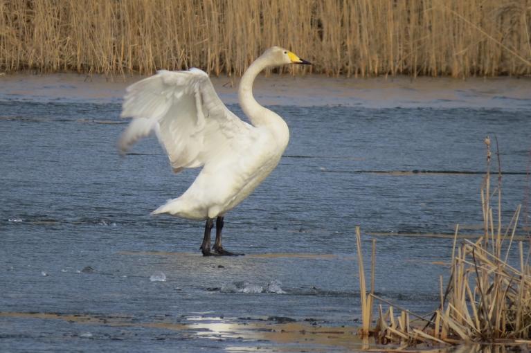 Vietām ledus vēl tik biezs, ka var noturēt putna svaru.