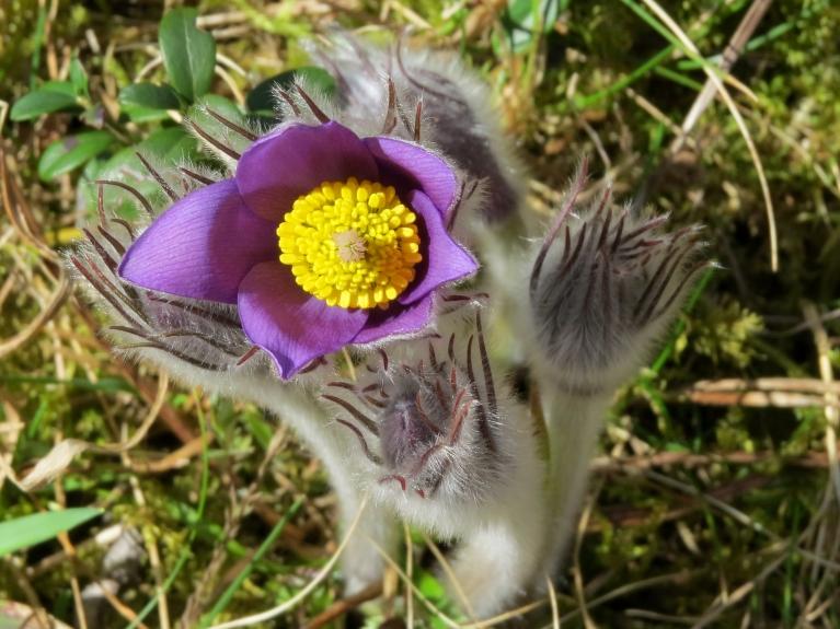 Silciema meža ceļu malās zied silpurenes.