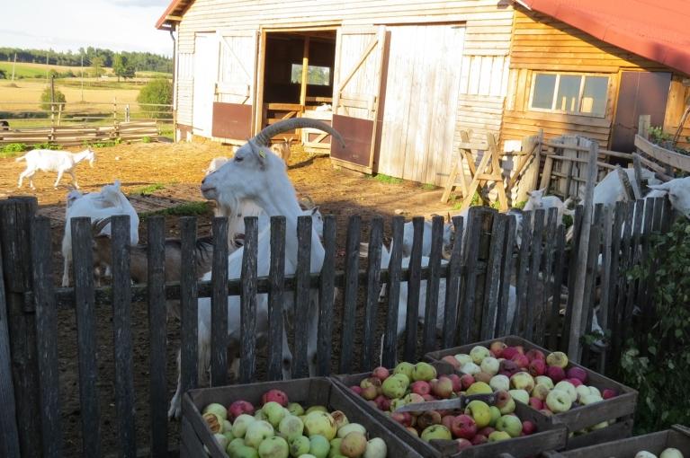 Bet rīt būs atkal jauna diena - saule spīdēs, āboli briedīs un visi baudīs rudens veltes!