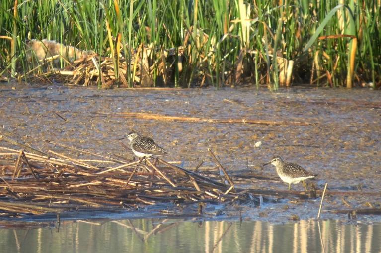 Ūdens malā rosās putni (purva tilbītes)