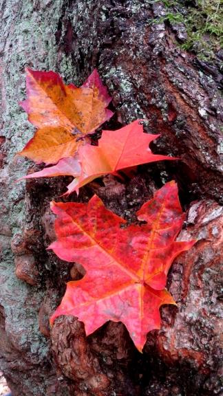 Sigulda pilna ar krāšno rudens lapu vērotājiem.