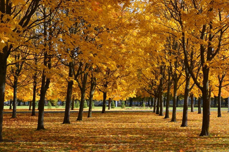 Uzvaras parkā kļavu alejas nokrāsojušās monotoni oranžas.
