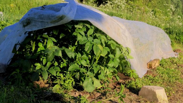 Solīto salnas draudu iespaidā šodienas pirktākā prece- agrotīkls, gulst uz augiem, kuru nosalšana būtu jāaizkavē.