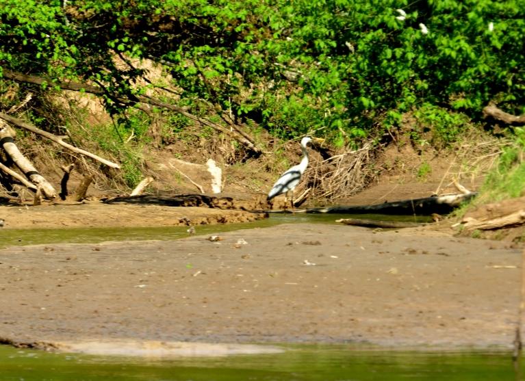 Upītes ietekā - baltais gārnis.