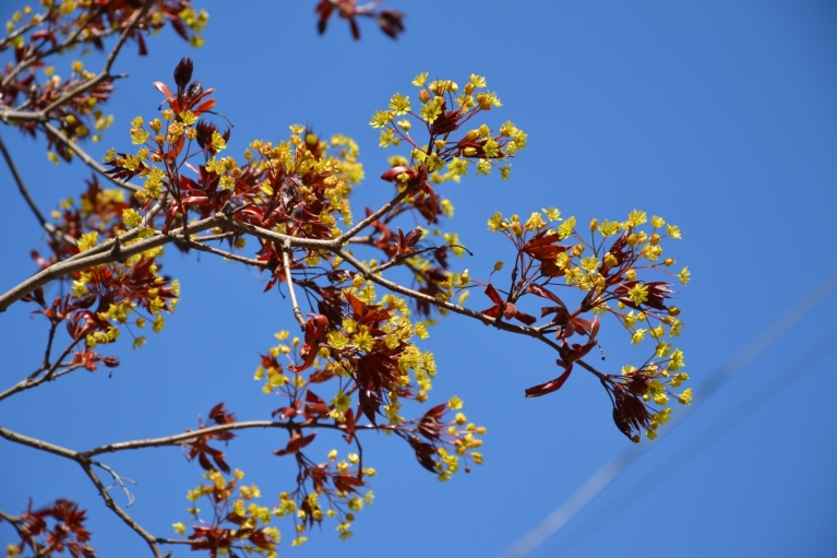 Sarkanlapu kļava zied.