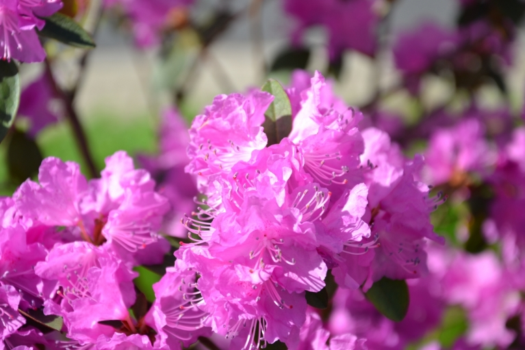 Agrajam rododendram arī ziedu laiks...