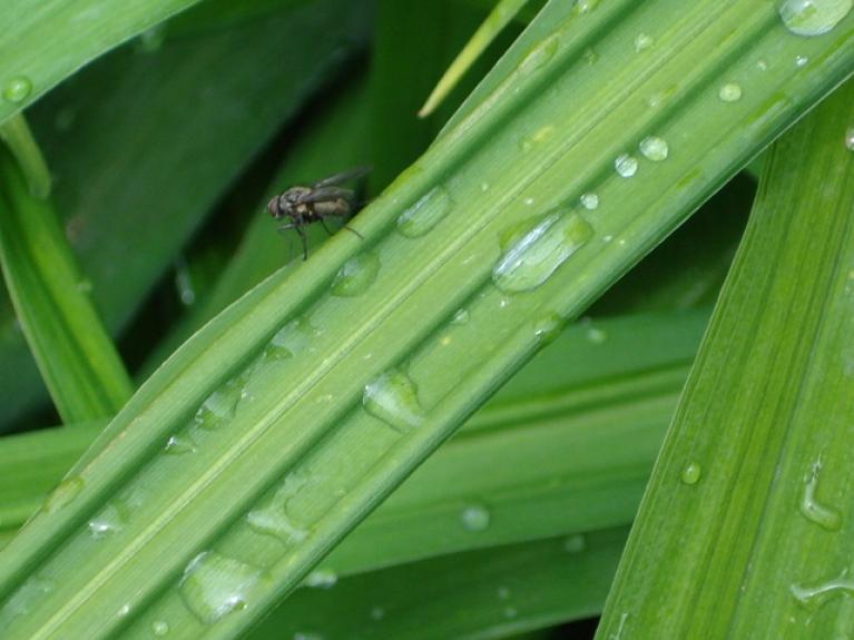 Jāņu rasa (lietus) 24 06 2014 Svētciems (pie Salacgrīvas)