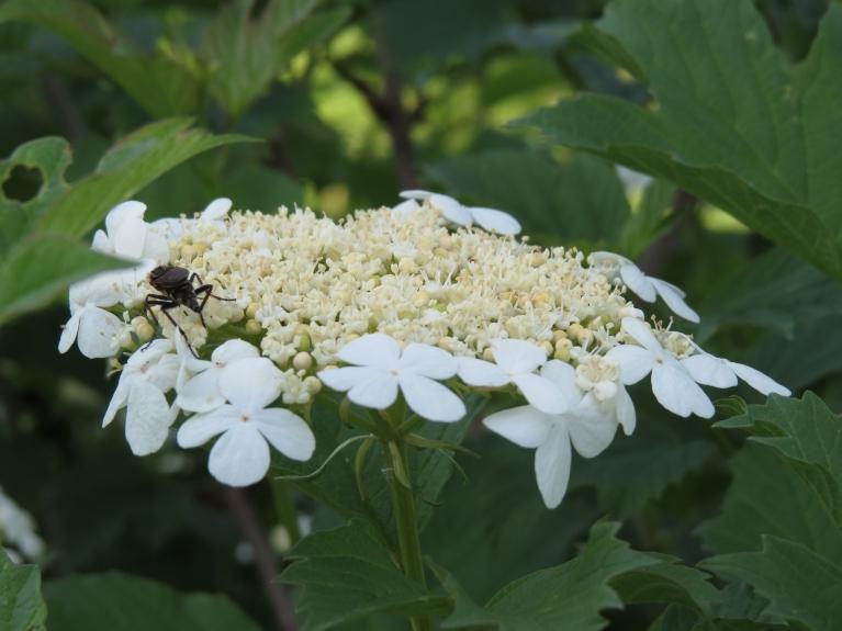 Dabātīgi zied arī irbeņu krūms...