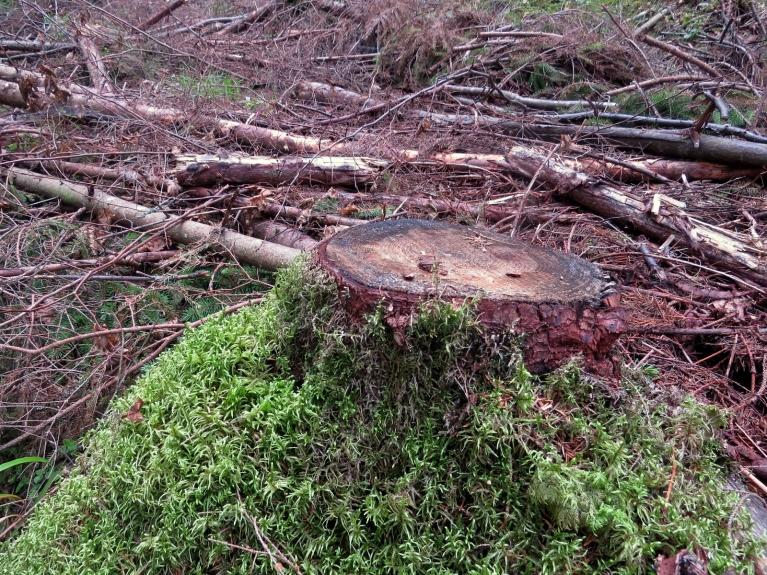 Garastāvoklis nebūt neuzlabojas. Šajā vietā daudzus gadus auga reta sēne- zeltainā korellene. Mamma Daba gauži raud Latvijas Valsts mežos...