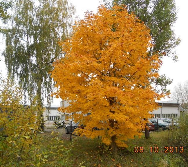 Autors: Biruta. Daba rudenīgās krāsās - kļavas šogad bez sarkanīgā toņa