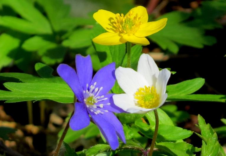 Vienlaicīgi zied gan zilās, gan baltās, gan dzeltenās vizbules.