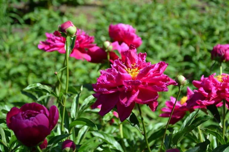 Tikmēr bez rozēm pie Brīvības pieminekļa zied arī peonijas.