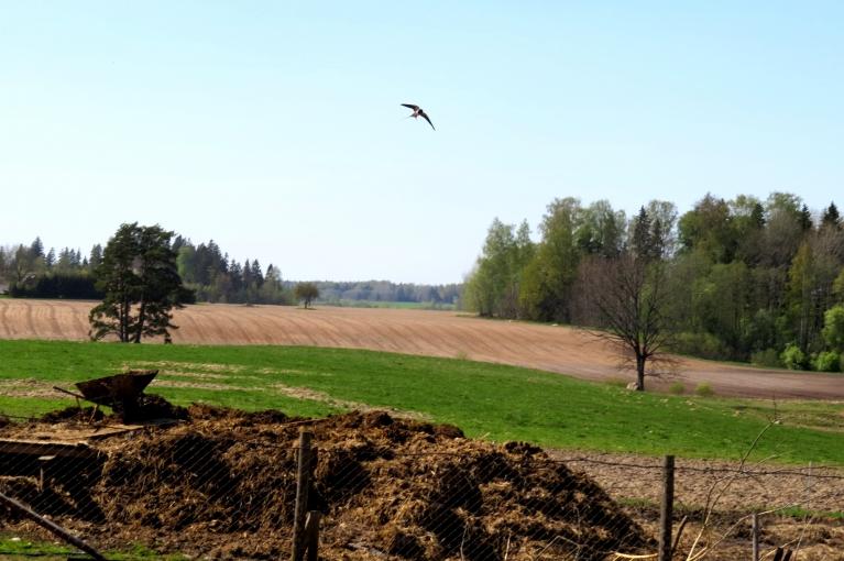 Lauku saimniecībā dzīve rit ierastā ritmā, tā kā kūts durvis stāv vaļā, bezdelīgām ar ligzdu būvēšanu nav problēmu.