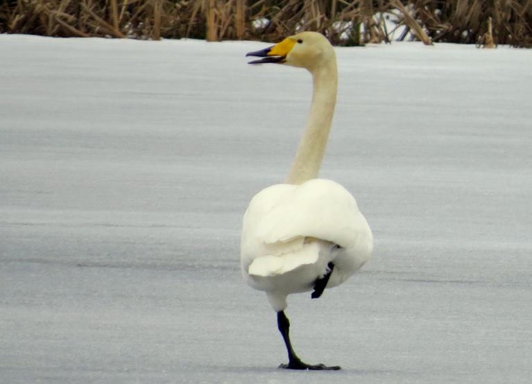 Tā kā atkusis tikai neliels dīķa stūrītis, nākas daudz laika pavadīt uz ledus, bet tur ir auksti- pleznas salst.
