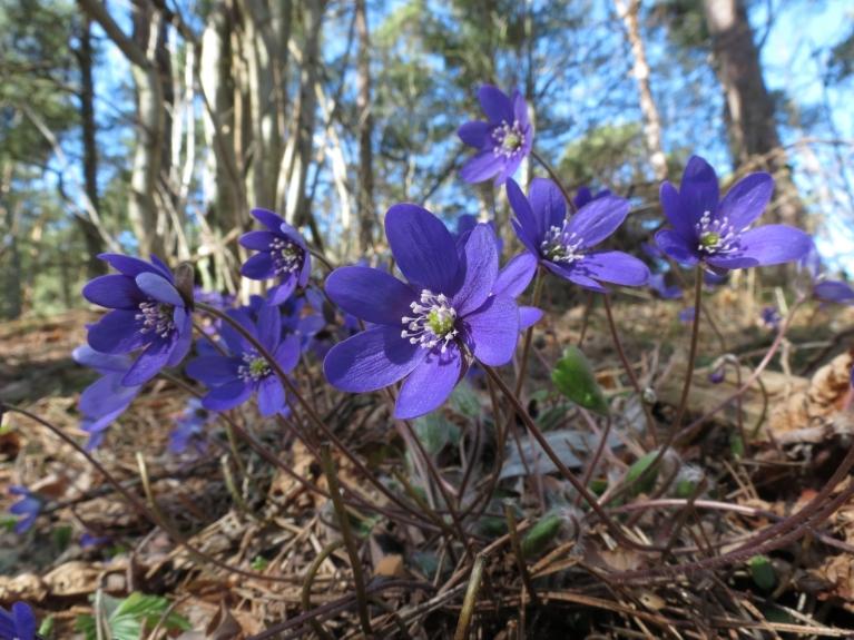 Gravās zem kājām zils ziedu paklājs