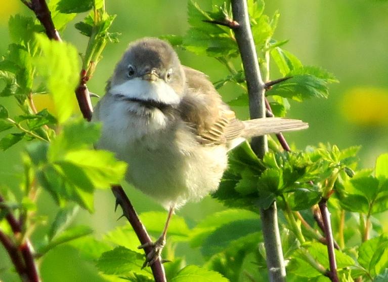 Šis mazputniņš jau kuro vasaru savu ligzdiņu veido asajā mežrožu krūmā.